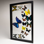 18 Genuine Butterflies // Clear Display Frame