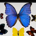12 Genuine Butterflies // Clear Display Frame