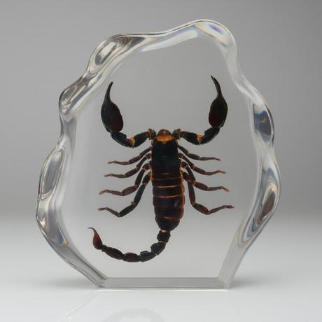 Genuine Black Scorpion in Lucite