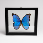 Giant Blue Morph Butterfly // Morpho Didius // Clear Display Frame