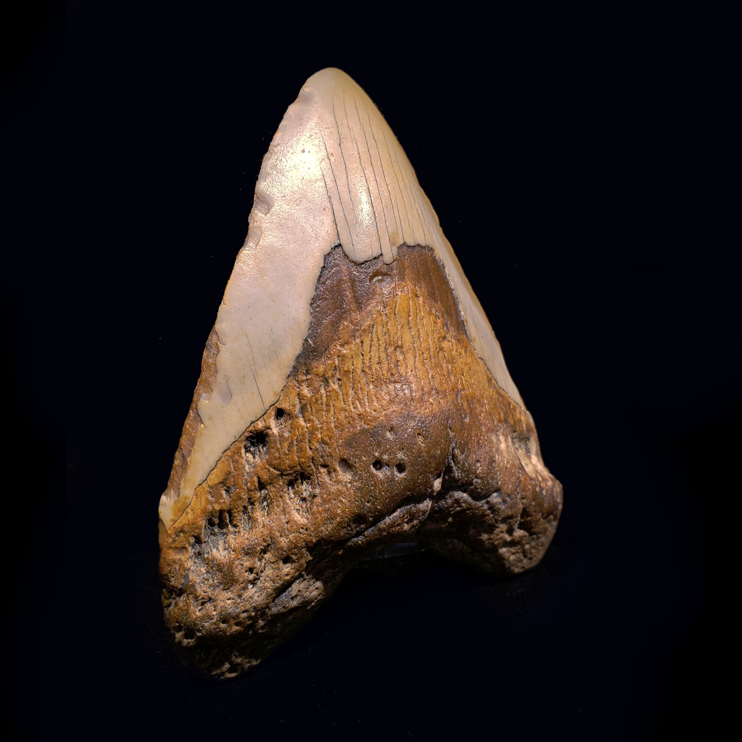 Megalodon Tooth // Ver. I - A.W. Fossils - Touch of Modern