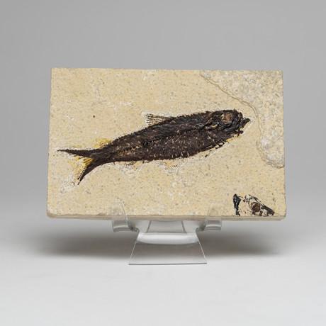 Genuine Knightia Fish Fossils // Acrylic Display