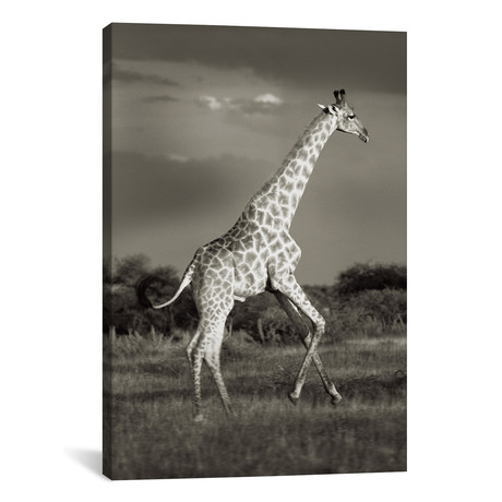 """B+W Solitary Giraffe (12""""W x 18""""H x 0.75""""D)"""