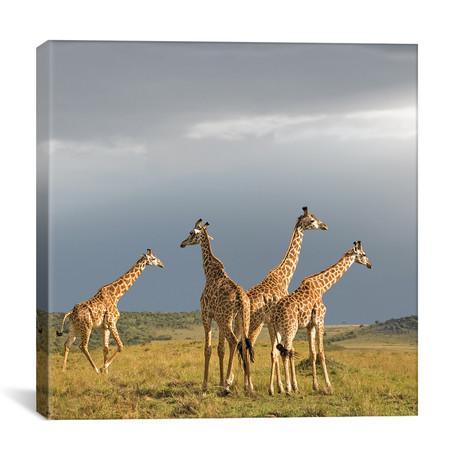 "Color Giraffe Herd II (12""W x 12""H x 0.75""D)"