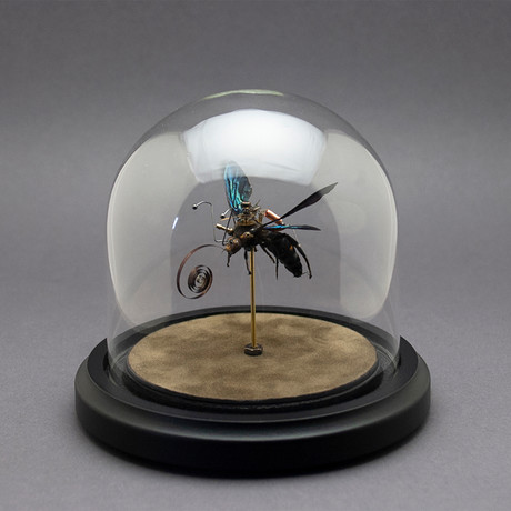 Hymenoptera // Megascolia Procer