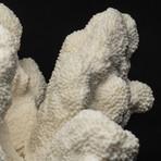 Genuine White Cat's Paw Coral // II