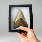 Genuine Megalodon Shark Tooth // Display Case