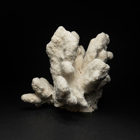 Genuine White Cat's Paw Coral // II