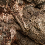 Genuine Crinoid Fossil Plate
