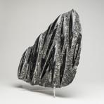 Genuine Orthoceras Fossil on Matrix