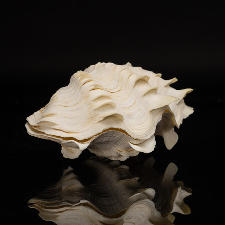 Fluted Clam Shell // 8""