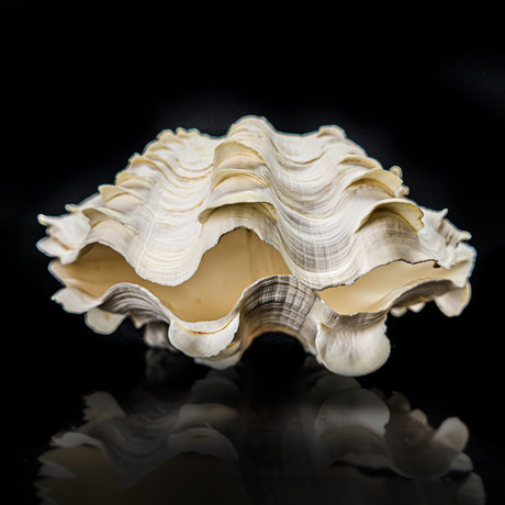 Fluted Clam Shell // 9""