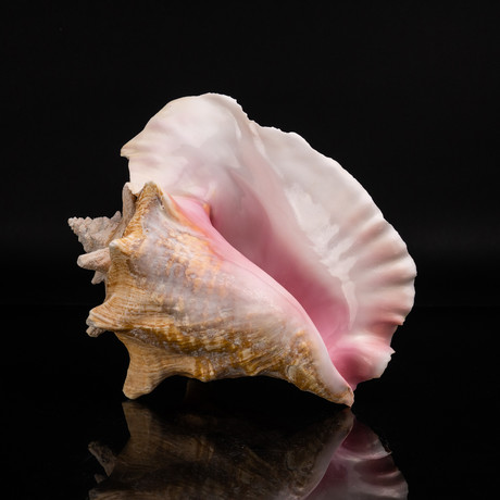 Genuine Pink Conch Shell