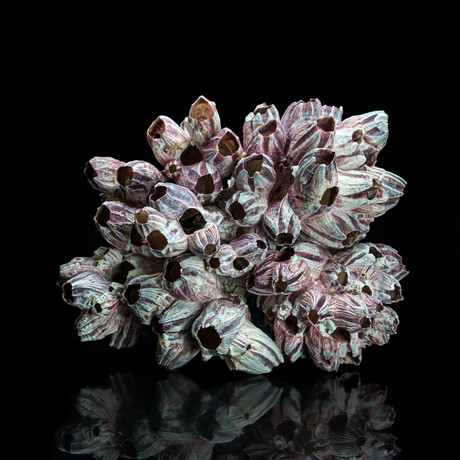Genuine Purple Acorn Barnacle Cluster I