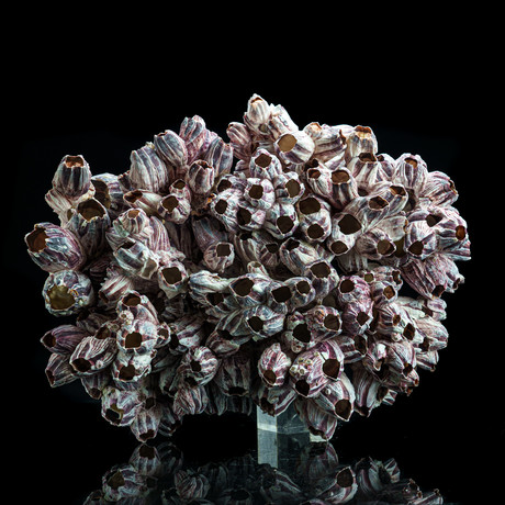 Genuine Purple Acorn Barnacle Cluster II