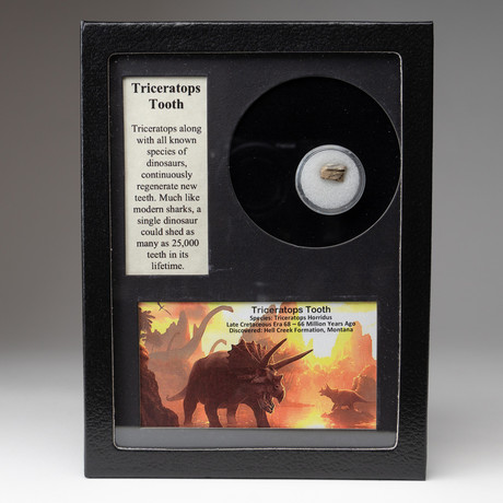 Genuine Triceratops Tooth + Display Frame