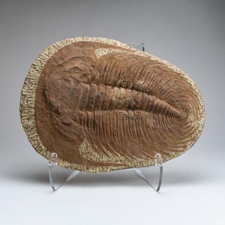Large // Trilobite Fossil