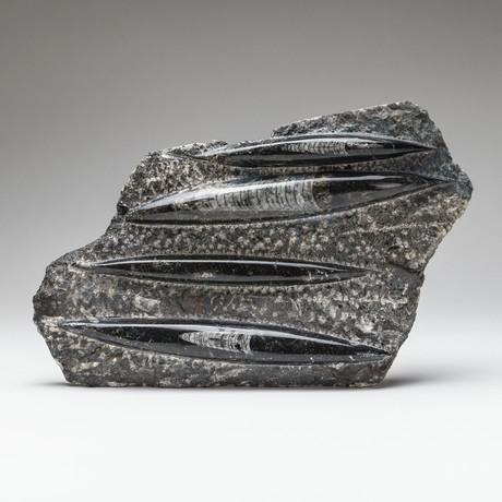 Genuine Orthoceras Fossil