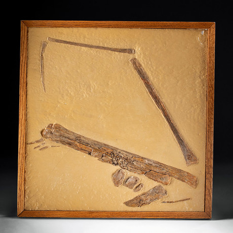 Kansas Late Cretaceous Fossilized Pterodactyl Wing
