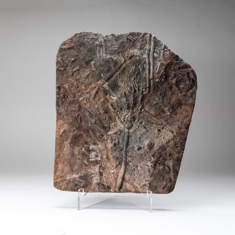 Crinoid Fossil Plate