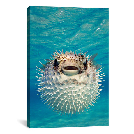 "Close-Up Of A Puffer Fish, Bahamas // Panoramic Images (12""W x 18""H x 0.75""D)"