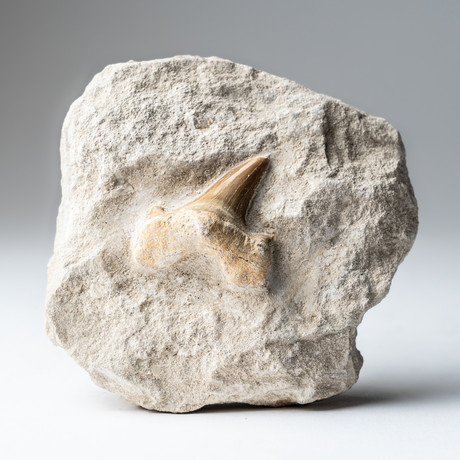 Pre-Historic Shark Tooth Fossil + Matrix
