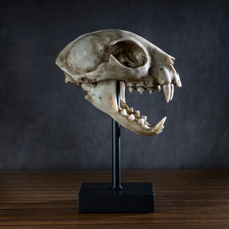Bob Cat Skull