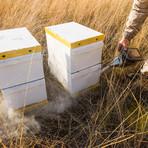 Australian Manuka Honey (25+)