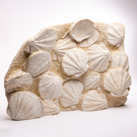 French Fossil Pecten Shell Cluster