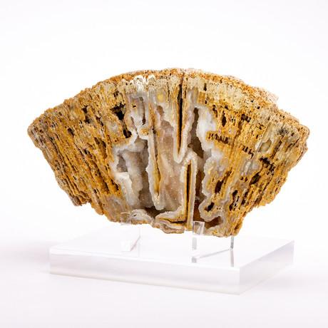 Florida Agatized Fossil Coral + custom acrylic stand // Ver. II