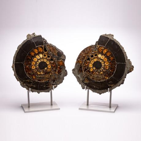 Russian Pyritized Spitoiceras Ammonite + Aluminum stand