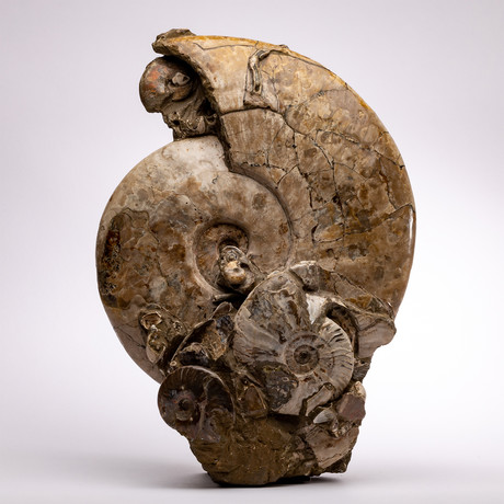 Madagascar Fossil Ammonite Cluster