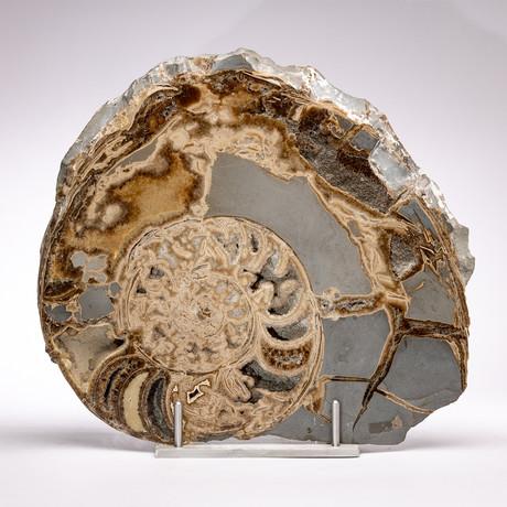 UK Jurassic Coast Fossil Ammonite