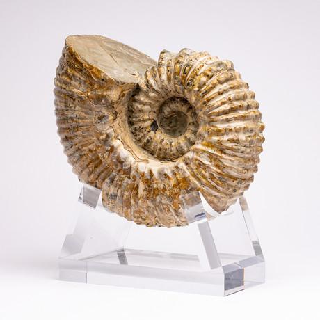 Douvilleiceras Ammonite + acrylic stand // Ver. I