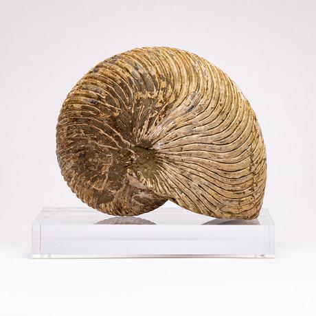Cymatoceras Ammonite + Acrylic Stand