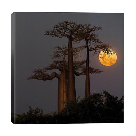Baobabs and moon, Morondava, Madagascar // Panoramic Images
