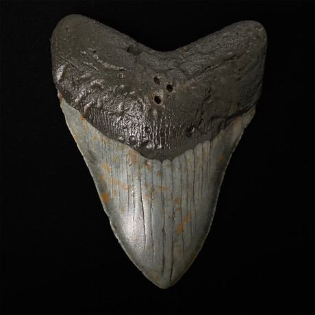 """5.63"""" Megalodon Shark Tooth Fossil"""