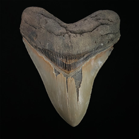 """5.38"""" Serrated Megalodon Shark Tooth Fossil"""