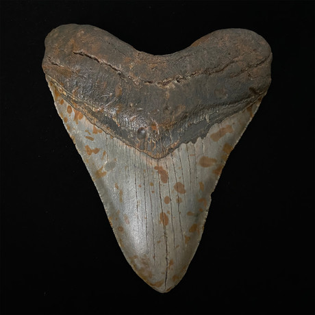 """5.13"""" Megalodon Shark Tooth Fossil"""