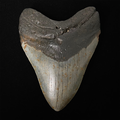 """5.58"""" Megalodon Shark Tooth Fossil"""
