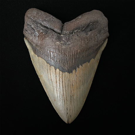 """5.64"""" Brown Megalodon Shark Tooth Fossil"""