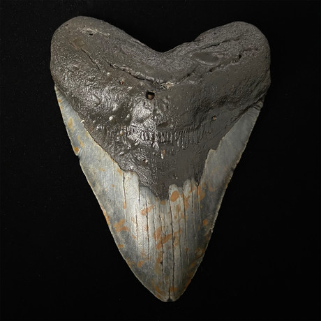 """5.28"""" Megalodon Shark Tooth Fossil"""