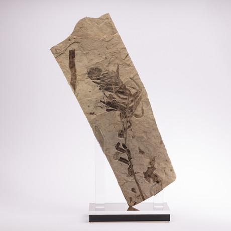 Fossil Fern + Acrylic Stand
