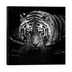 """Tiger In Water, Black & White // Lukas Holas (26""""W x 26""""H x 1.5""""D)"""