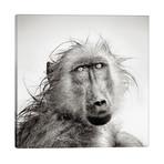 """Wet Baboon Portrait // Johan Swanepoel (26""""W x 26""""H x 1.5""""D)"""