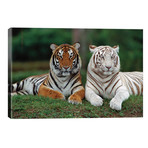 Bengal Tiger Pair, One With Normal Coloration And Other Is A White Morph, India // Konrad Wothe