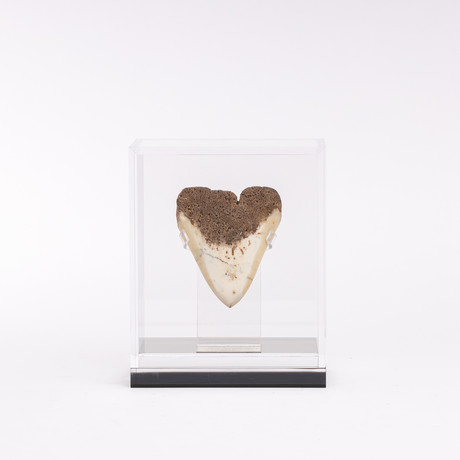 """Fossil Megalodon Tooth + Acrylic Box // 4.5"""""""