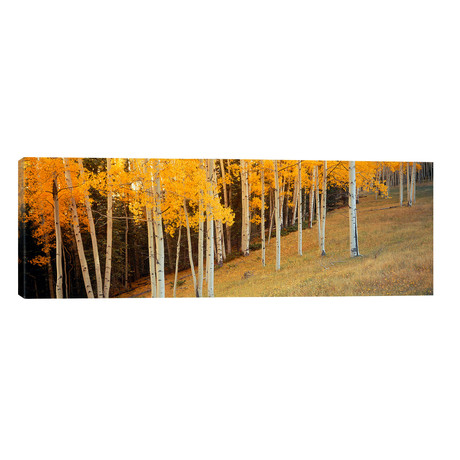"""Aspen trees in a field, Ouray County, Colorado, USA // Panoramic Images (60""""W x 20""""H x 0.75""""D)"""