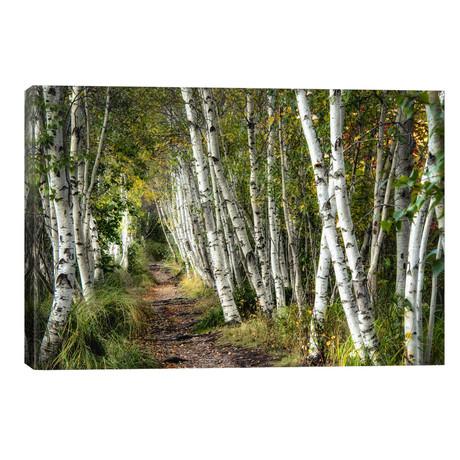 A Walk Through The Birch Trees // Danny Head