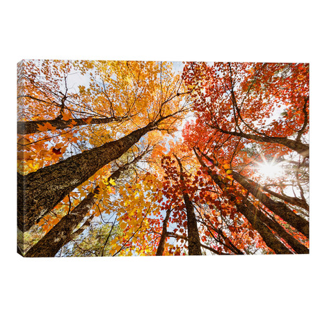 Low-Angle Autumn View Of Maple Trees, Upper Peninsula, Michigan, USA // Adam Jones